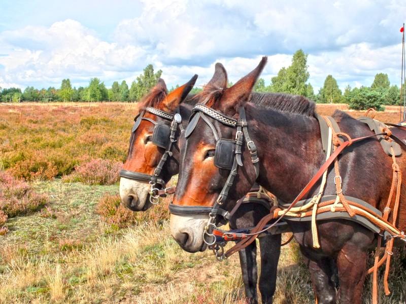 Muli-Kutsche in der Heide des Naturparks Uckermärkische Seen
