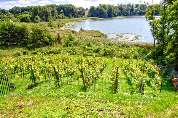 Blick auf den Weinberg am See