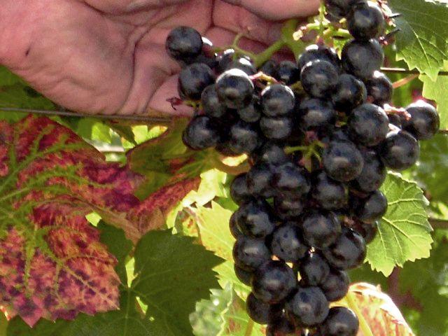 Wein aus Annenwalde